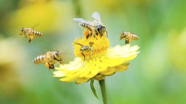 Bee populations are declining