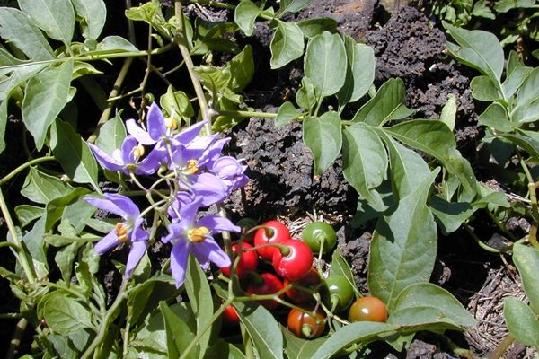 Nightshade Vegetables