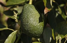Starbucks Adds Avocado Spreads to Menu, Nutritionist Claims They are Less Healthy than Butter
